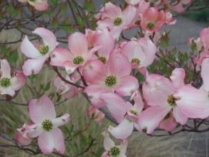 A closeup of pink dogwood blossoms