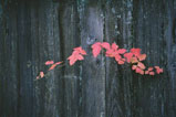 Red fall leaves coming through a grey redwood fence