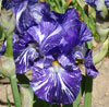 Batik Irises from my garden, spring, 2008
