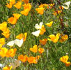 California poppies in my garden, spring, 2008