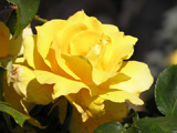 A yellow rose from my garden illustrating the essential oils links