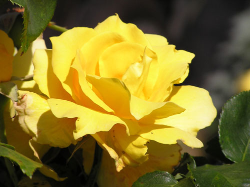 A yellow rose from my garden